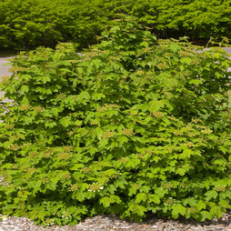 Viburnum trilobum 'Wentworth'