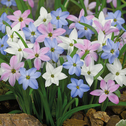 Ipheion Mixed