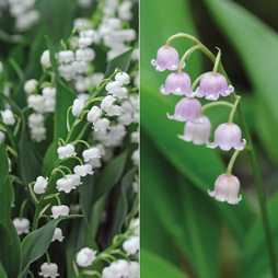 Lily of the Valley Collection