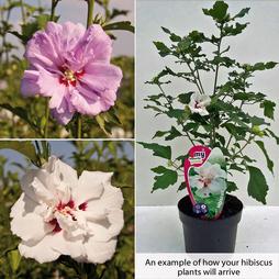 Hibiscus Lucky Dip