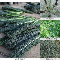 All Season Long Kale Mix