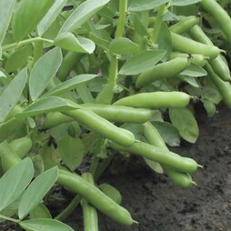 Broad Bean 'De Monica'