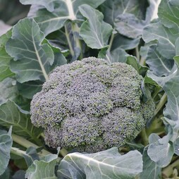 Broccoli 'Ironman' F1 Hybrid (Calabrese)