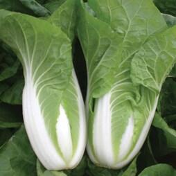 Cabbage chinese 'Natsuki'