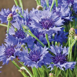 Cornflower 'Blue Diadem'