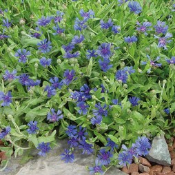 Cornflower 'Trailing Blue Carpet'