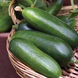 Cucumber 'Cucino' F1 Hybrid