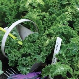 Kale 'Reflex' F1 Hybrid