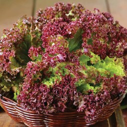 Lettuce 'Lollo Rossa' (Loose-Leaf)