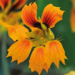 Nasturtium 'Phoenix'