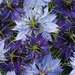 Nigella 'Blue Starry Skies'