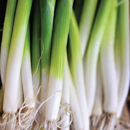 Onion 'Ishikura' (Bunching Onion)