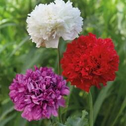 Poppy (Peony) 'Union Jack Mixed'