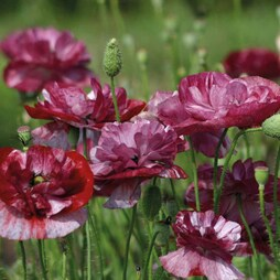 Poppy 'Burgundy Bigalow'