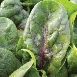 Spinach PV1390 'Red Veined'