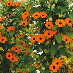 Thunbergia alata 'Superstar Orange'