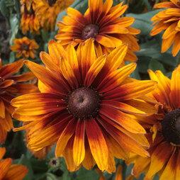 Rudbeckia x hirta hybrida 'Cherokee Sunset'®