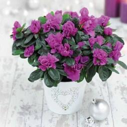 Azalea Purple - Gift
