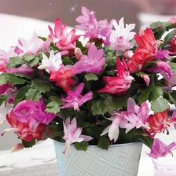 Christmas Cactus - Gift