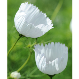 Cosmos bipinnatus 'Cupcakes White'