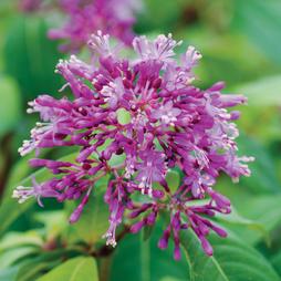 Fuchsia 'BluTini'