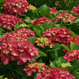 Hydrangea macrophylla 'Ruby Rocks'