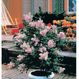 Lilac 'Dwarf Pink'