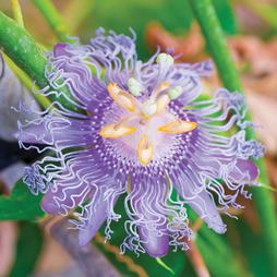 Passiflora edulis 'Frederick'