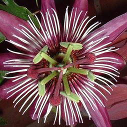Passiflora 'Violacea Victoria'