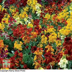 Wallflower 'Brilliant Bedder Series Mixed'