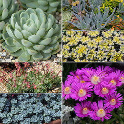 Sedum and Succulent Lucky Dip Collection