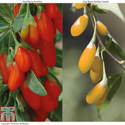 Goji Berry Collection