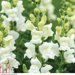 Antirrhinum majus 'Royal Bride'