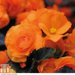 Begonia 'Non-Stop Mocca Bright Orange'