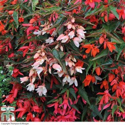 Begonia 'Starshine Mixed' (Garden Ready)