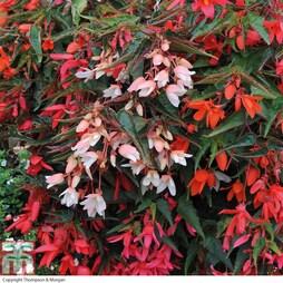 Begonia 'Starshine Mixed' (Garden Ready)