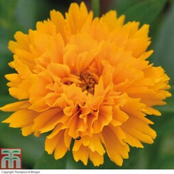 Coreopsis 'Golden Joy' (Garden Ready)