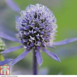 Eryngium planum 'Blue Hobbit' (Garden Ready)