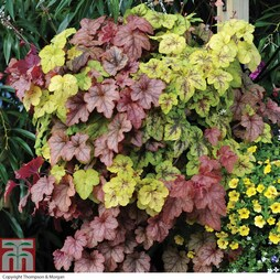 Heucherella 'Trailing Collection'