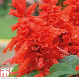 Salvia splendens 'Blaze of Fire' (Garden Ready)