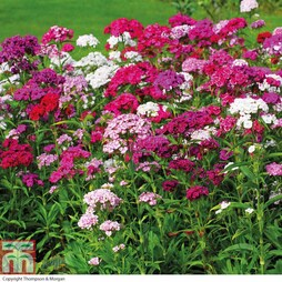 Dianthus barbatus 'Sweet Mixed'