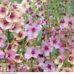 Verbascum x hybrida 'Southern Charm' (Garden Ready)