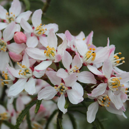 Choisya ternata 'Apple Blossom'