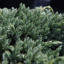 Juniperus squamata 'Blue Spider'