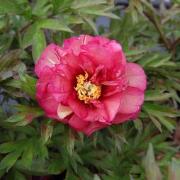 Peony 'Julia Rose'
