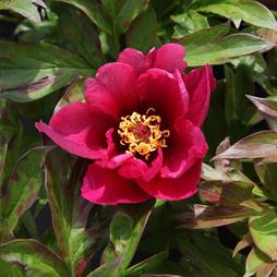 Peony 'Pink Ardour' (Large Plant)