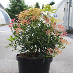 Pieris 'Forest Flame'