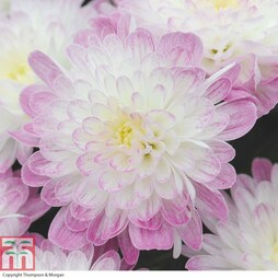 Chrysanthemum 'Improved Appleblossom'
