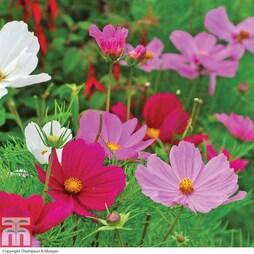 Cosmos bipinnatus 'Sonata Mixed' (Garden Ready)