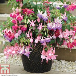 Fuchsia '3-in-1 Pot' (Hardy)